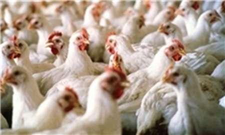 بیماری ویروسی نیوکاسل پرندگان در استان تحت کنترل است