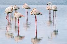 آشیانه سازی بیش از 30 هزار فلامینگو در دریاچه ارومیه