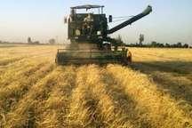 برداشت بیش از170هزارتن گندم از مزارع شوش