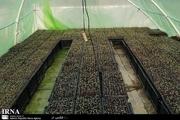 کشاورز بانه ای 22 هزار نشا را پشت بام خانه پرورش داد