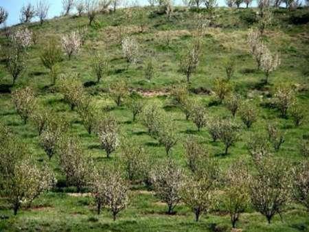 توسعه باغ  در 20هزار هکتار از اراضی شیب دار خراسان شمالی اجرا می شود