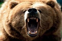 حمله خرس به چوپان در شهرستان لنده