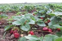 پیش بینی برداشت 300 تن توت فرنگی از مزارع سردشت