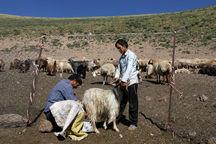 ۶۰۰ راس دام نژاد برتر و پربازده به استان اردبیل تحویل میشود