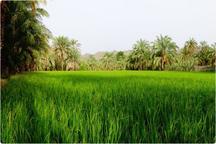 تولید سالانه چهار هزار تن برنج در سیستان و بلوچستان