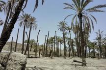 خشکسالی موجب نابودی سه میلیون نخل خرما در آبادان شد