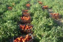 برداشت گوجه فرنگی هفته جاری در هرمزگان آغاز میشود