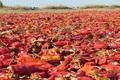تولید هزار و 600 تن فلفل قرمز در داورزن
