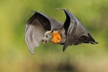محیط زیست گیلان :خراب کردن لانه خفاش ها پیگرد قانونی دارد