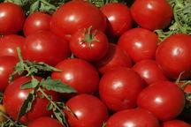 ۱۶۰۰ تن گوجهفرنگی در آذربایجانغربی خریداری شد