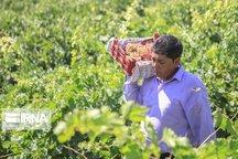 سهم ۱۳ درصدی  انگور در سبد اقتصاد کشاورزی خراسان شمالی