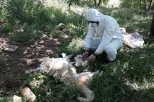 دامپزشکی دالاهو 6 حیوان مبتلا به هاری را معدوم کرد