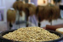 بیش از ۱۵ هزار تن برنج از شالیزارهای خرمشهر برداشت شد