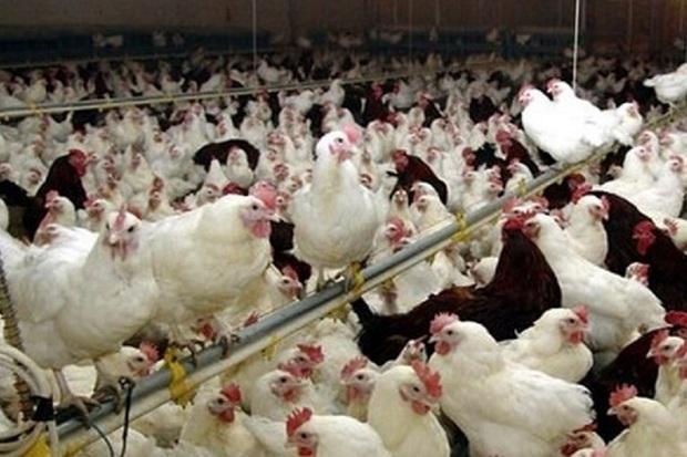 24 واحد مرغداری صنعتی در ایرانشهر فعال است