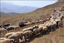 چرای دام در مراتع آذربایجان غربی ممنوع است