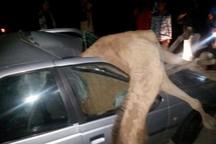 تصادف با شتر در مسیر دلگان - ایرانشهر چهار کشته بر جا گذاشت