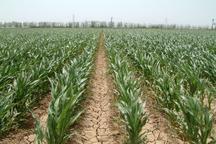 1650 تن کنجد از زمین های کشاورزی حاجی آباد برداشت می شود