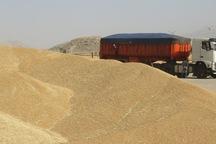 خرید گندم از کشاورزان سروآبادی 230 درصد افزایش یافت