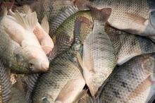 واردات بی رویه ماهی تیلاپیا مشکل پرورش دهندگان داخلی