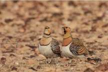 کشف 5 پرنده وحشی ازمخفیگاه شکارچی غیرمجاز در بندرترکمن