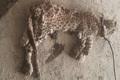 لاشه توله پلنگی در خاییز کهگیلویه کشف شد