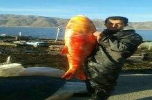صید ماهی قرمز 20 کیلوگرمی در دریاچه زریبار مریوان