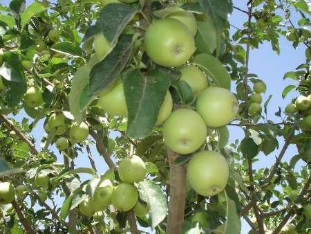 پیش بینی تولید هزار و 695 تن میوه  تابستانی در شهرستان سرایان