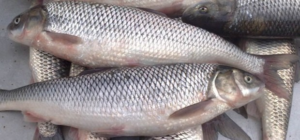حدود 19 تن ماهی منجمد از البرزبه روسیه صادر شد