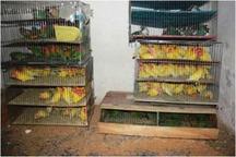 300 قطعه پرنده تزیینی کمیاب در سراوان کشف شد