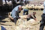 برداشت پشم از نژاد قوچ ماکویی در مرند آغاز شد
