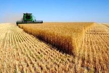 کشت 2000  هکتار  گندم   از مزارع  میاندورود