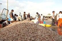 افزایش 17 درصدی صید میگو در هرمزگان