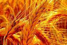 رویش خوشه های طلایی از نبرد زمین با خشکسالی