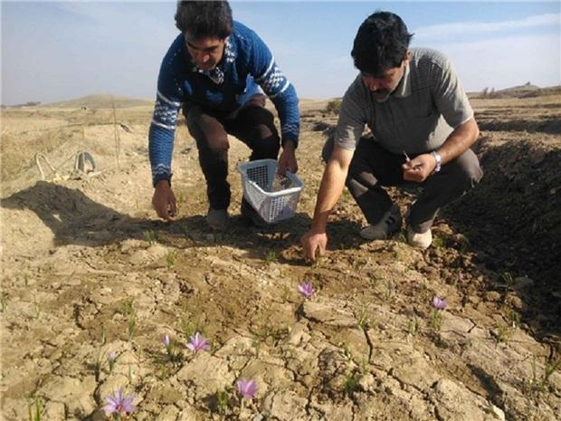 اراضی کشاورزی بیجار برای کشت زعفران مستعد است
