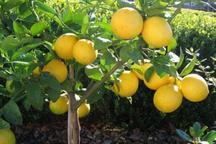 باغداران جهرم، لیموشیرین را به صورت توافقی بفروشند