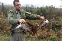 دو عقاب جنگلی و قوی خاکستری در شفت و لاهیجان رهاسازی شدند