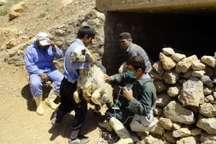 افزون بر یک میلیون راس دام سیستان و بلوچستان علیه بیماری مایه کوبی شد