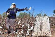 پنبه در ۲۰ هزار هکتار از اراضی استان گلستان کشت میشود