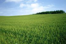 رشد مزارع گندم گلستان مطلوب است