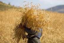 مدیرکل غله: مقدمات خرید گندم از کشاورزان گلستان فراهم است