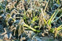 سالانه بیش از 200 میلیارد تومان دراثر سرمازدگی به بخش کشاورزی آذربایجان غربی خسارت وارد می شود