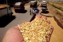 برداشت محصول گندم در ساوه آغاز شد