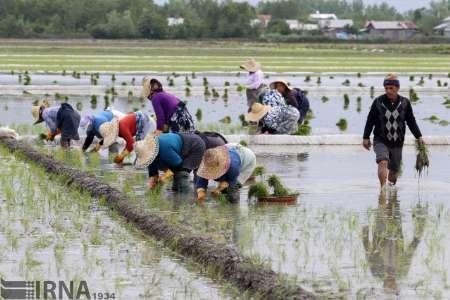 400 هکتار از اراضی رهاشده برنج در گیلان به چرخه تولید بازگشت