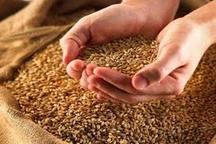 80 هزار تن گندم مازاد بر نیاز کشاورزان جنوب شرق تهران خریداری شد