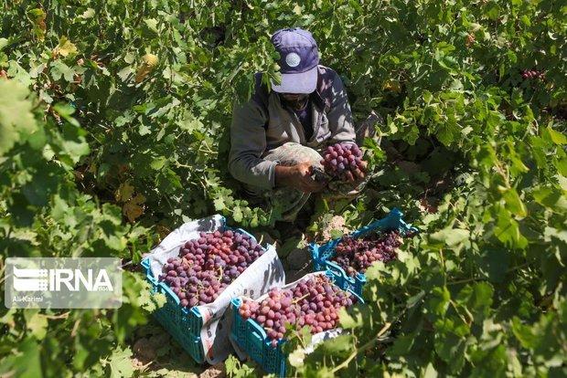 شناسایی ۲۴۰ رقم انگور در خراسان شمالی سازگار با اقلیم استان