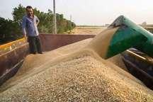 پیش بینی تولید 200 هزار تن گندم در بیله سوار و نگرانی ها از انبار و حمل آن