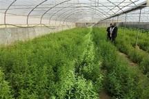 گیاهان دارویی در 230 هکتار زمین کهگیلویه و بویراحمد کشت شد