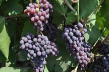 افزون بر 120 تن انگور یاقوتی در سراوان برداشت شد