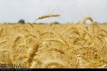 شورای اقتصاد قیمت تضمینی گندم و کلزا را اعلام کند
