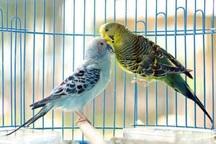 نگهداری پرندگان در منزل، سلامت افراد را به خطر می اندازد